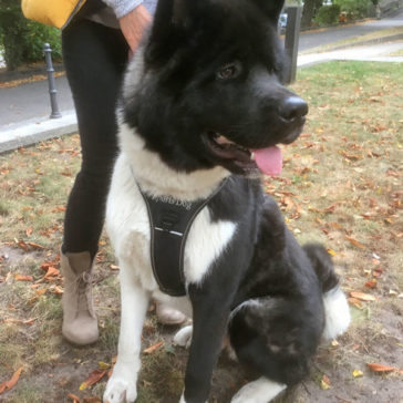 "Hundetrainer Stefan Thal - Junghunde Kurs - ""Pizarro"" - 4"